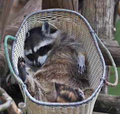 Tvättbjörn tar en välbehövlig tupplur i korg. Cute Baby Animals, Animals And Pets, Funny Animals, Strange Animals, Cute Raccoon, Racoon, Beautiful Creatures, Animals Beautiful, Beautiful Images