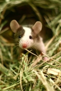 Cute little rat, most likely a pet.