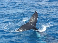 Travel Writer Lee Mylne has a whale of a tale to tell....  Humpback Whale Watching in the calm waters on the lee side of Fraser Island #whalesherveybay #fraserisland #queensland #australia #humpbackwhales #whalewatching http://www.whalewatch.com.au/ www.queensland.com/whales