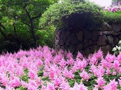 A sea of pink astilbes! Shade, or part sun.  (Here in the SOuth, they don't like any sun at all- way too hot for that).