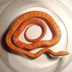 Sunkissed Cornsnake.  #colubridbreeder #colubridsofig #cornsnakeofinstagram #cornsnakes #morphs #petloversofinstagram #petsofig #reptile #reptilelover #snakemorphs
