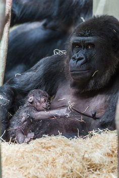 3_gorilla_joas_shortly after giving birth--see more: http://zooborns.typepad.com/zooborns/gorilla/