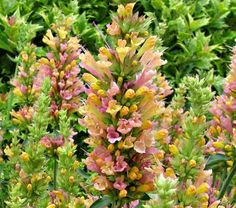 """Agastache Grapefruit Nectar  Common Name:Hummingbird Mint  HardinessZone:  7-10S / 7-10W  Height:15""""+  Deer Resistant:Yes  Exposure:Full Sun  Blooms In:July-Sept  Spacing:15"""""""