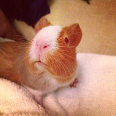 Ruby the guinea pig! #cute #guineapig