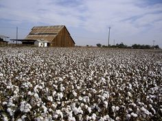 Old barn and cotton field