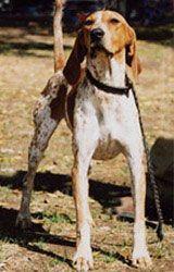 American english coonhound. Pleaseeee?