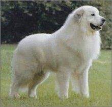 Great Pyrenese. Like old Chance, one of the best dogs in the world!