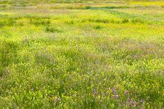 Flower meadow - village of Petegem-aan-de-Schelde, Belgium