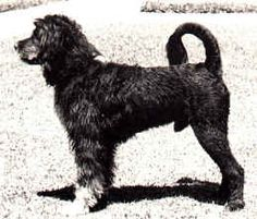 """Leao"" (1931-1942) was the founding sire of the modern breed and of which the original written breed standard was based.  The first litter was born on May 1, 1937, at the Algarbiorum Kennels."