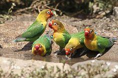 Fischers Lovebirds 8563