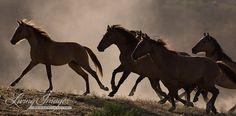 Sunset Horses Running  Fine Art Wild Horse Photograph by Carol Walker www.LivingImagesCJW.com