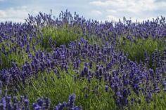 Lavander, Herbs, Health, Garden, Travel, Medicine, Home, Natural Remedies, Plant