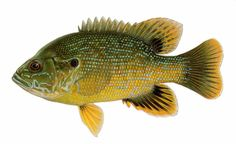 Green Sunfish | Green Sunfish- No length or creel limit