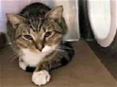 Cute Black Tabby Kitty With Healing Wounds at BACC! ATKINS Needs You! Atkins came in with an open wound/abcess on his front paw - needs rescue.