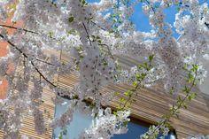 2015-04 Spring in Brooklyn New York. #toptravelspot #usa #newyork #nyc #brooklyn #spring #flowers #cherryblossom #cityscape  #locationindependent #instantraveling #instatraveling #travelphotography #sonyalpha