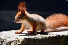crest, squirrel