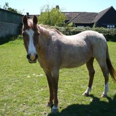 Sad news from The Horse Trust: Redwood who retired from Horse Rangers in 2007 has been put to sleep at the grand old age of 33 years. He had been poorly for a while.  Redwood was one of the best ponies we've had at Rangers, he arrived on 30th November 1989 as a 10 yr old, donated by Mrs Hayward (who also gave us Sooty). He spent 18 years with us at the Mews giving great enjoyment to hundreds of our members. He's recently spent 5 years roaming the hills at Speen with his best buddy Desperate…
