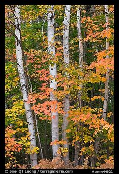 Picture/Photo: Group of birch trees and maple leaves in autumn. Baxter State Park, Maine, USA