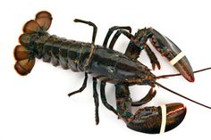 Maine Lobsters Choose from a large selection of live or ...