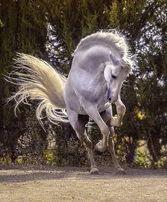 Carthusian Pura Raza Española stallion, Argentino XXV. photo: Ignacio Alvar-Thomas.