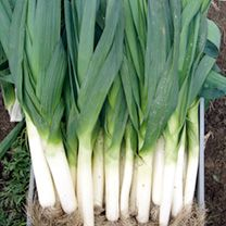 Items similar to Aprox. 700 Leek seeds ELEFANT fresh seeds best before 2018 on Etsy Vegetable Garden, Wild Ramps, Sutton Seeds, Organic Pumpkin Seeds, Clay Soil, Root Vegetables, Allium, Grow Your Own Food, Vegetable Gardening