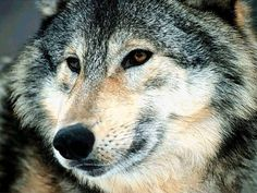 A Close up photo of a Wolf Head.