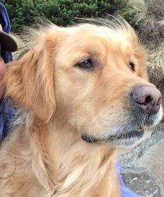 #golden #dogs