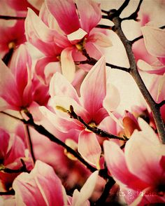 Japanese magnolias will always remind me of Maman