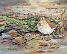 A 'Veery' acrylic by Toni Kelly Bird Paintings, Still Life, Birds, Watercolor, Nature, Animals, Paintings Of Birds, Pen And Wash, Watercolor Painting