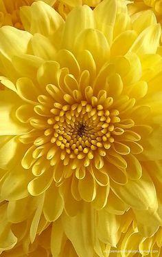 Yellow Mum Amazing Flowers, Love Flowers, Yellow Flowers, Yellow Art, Mellow Yellow, Color Yellow, Yellow Photography, Macro Flower, Deco Floral