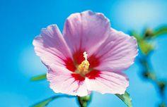 National flower of Korea, Mugunghwa (Rose of Sharon)