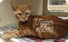 Tigger - URGENT -  Alvin Animal Adoption Center in Alvin, Texas - KITTEN Neutered Male Domestic SH