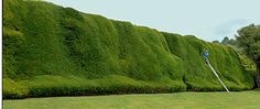 He has the unenviable task of looking after Britain's oldest and biggest yew hedge, which is 400ft long, 30ft tall and 30ft wide.