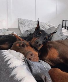 Cute Puppies, Cute Dogs, Dogs And Puppies, Doggies, Doberman Dogs, Doberman Pinscher, Animals And Pets, Baby Animals, Cute Animals