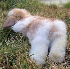 fluffy bunny resting rabbit ~~~~ A wabbit westing ! Bunny Love, Cute Baby Bunnies, Funny Bunnies, Cute Babies, Funny Pets, Lop Bunnies, Rabbit Pictures, Baby Pictures, Amor Animal