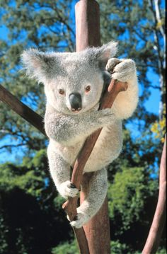 Interesting koala facts from Sydney Australia. Why the koala bear is not actually a bear and learn how they care for their little baby cubs, and of course, why they sleep so much. Cute Baby Animals, Animals And Pets, Australian Animals, Mundo Animal, Animal Wallpaper, Animals Of The World, Worlds Cutest Animals, Wild Life, Tasmania