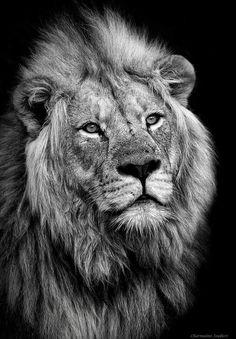 2017/09/09 B&W Lion