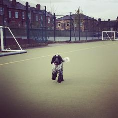 Pitch inspection. #hockey #cockerspaniel