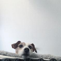 DOG #JackRussellTerrier #dog #instadog #terrier #jrt #lovemydog #jrtpost #dogs #ジャックラッセルテリア #akmhome by akiemats
