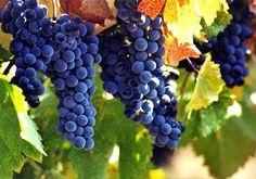 wijnranken - Google zoeken