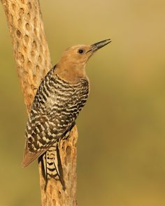 The Gila Woodpecker - Melanerpes uropygialis is a medium-sized woodpecker of the desert regions of the southwestern United States.