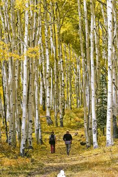 Aspen Trees in the fall season in the mountains of Colorado. This is so beautiful. I would love to walk through those trees.