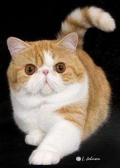 I'd love to have an exotic shorthair cat someday <3 O gato persa representa o glamour no mundo dos felinos. Em gatinhos, são umas bolas de pêlo adoráveis que até acabam por se perder no seu pêlo longo. Aprenda a identificar, cuidados e outros aqui.