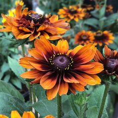 Cherokee Sunset Black-Eyed Susan (Rudbeckia hirta) casts an autumn glow with large double blooms in radiant yellow, orange, and copper. Orange Flowers, Cut Flowers, Black Eyed Susan Vine, Susan Black, Black Eyed Susan Flower, Guardians Of The Galaxy, American Meadows, Cut Flower Garden, Native American Art