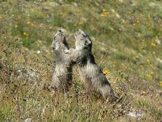 Vanoise - Deux marmottes jouant à proximité du sentier qui mène au refuge des Evettes. #marmotte #vanoise #hautemaurienne #alpes #faune #montagne #mountain
