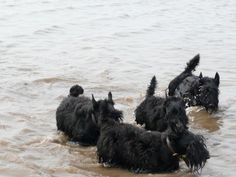 Careful guys, Scotties and water don't always mix!