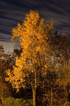 yellow-leaved-tree-moving-clouds-at-night.jpg