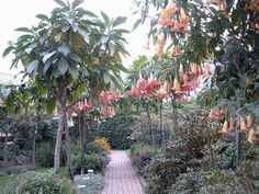 Large Brugmansia - Trees border the garden path all the way up to the house