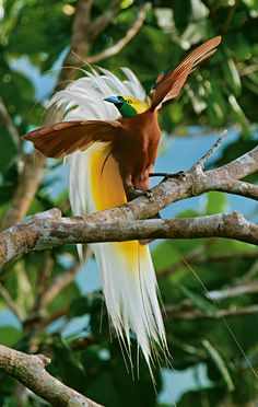 Birds of Paradise | National Geographic Magazine The Animals, Party Animals, Unique Animals, Most Beautiful Birds, Pretty Birds, Animals Beautiful, National Geographic, Exotic Birds, Colorful Birds