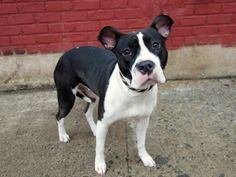 Brooklyn Center   My name is DAKOTA. My Animal ID # is A0995070. I am a female black and white pit bull mix. The shelter thinks I am about 1 YEAR 7 MONTHS old.  I came in the shelter as a OWNER SUR on 03/28/2014 from NY 11234, owner surrender reason stated was LLORDPRIVA. Killed.